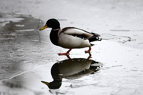 froid-de-canard